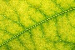 Textuur van een groen blad als achtergrond Royalty-vrije Stock Afbeeldingen