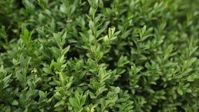 Textuur van een groene struik Reeks kleine bladeren Gebruik als achtergrond Panoramische slow-motion Verticaal die eindeloos groe stock video