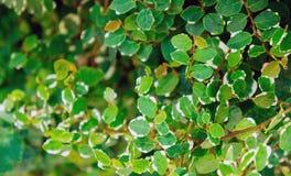 Textuur van een grote struik met groene bladeren met een witte grens Royalty-vrije Stock Fotografie