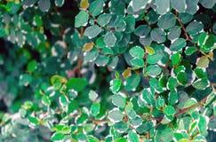 Textuur van een grote struik met groene bladeren met een witte grens Stock Foto