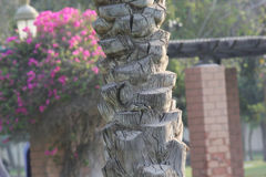 Textuur van een Palmschors in een tuin, Doubai Stock Afbeelding