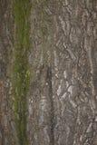 Textuur van een schors van de kastanjeboom Royalty-vrije Stock Afbeelding