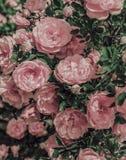 Textuur van gevoelige roze rozen knoppen en bladeren Royalty-vrije Stock Afbeeldingen