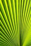 Textuur van Groen palmblad Royalty-vrije Stock Afbeeldingen