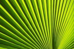 Textuur van Groen palmblad Stock Afbeelding
