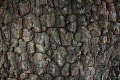 Textuur van grote boomschors Stock Foto