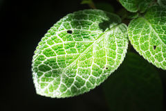 Textuur van het close-up de groene blad met chlorofyl en proces van fotosynthese stock afbeelding