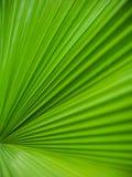 Textuur van het palm de groene blad Royalty-vrije Stock Fotografie