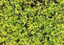 Textuur van kleine dichte bladeren van verse groene struiken in een ononderbroken canvas van natuurlijk patroon stock fotografie