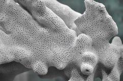 Textuur van koraal Stock Fotografie