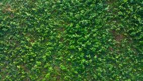 Textuur van natuurlijke groene bladmuur stock afbeelding