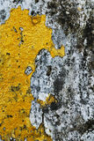 Textuur van oude concrete grungemuur met korstmosmos mol Stock Afbeelding