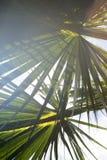 Textuur van palmblad Royalty-vrije Stock Foto's