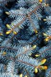 Textuur van pijnboomtakken Stock Afbeeldingen