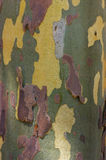 textuur van platanus Stock Foto