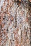 Textuur van schors van een oude pijnboomboom Royalty-vrije Stock Afbeelding