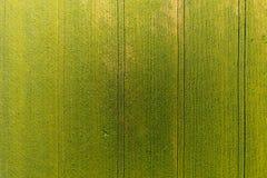 Textuur van tarwegebied Achtergrond van jonge groene tarwe op F royalty-vrije stock foto's