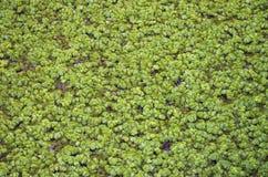 Textuur van vegetatie Stock Foto