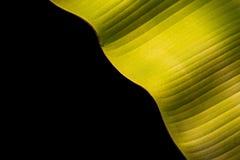 Textuur van vers groen die banaanblad op zwarte wordt geïsoleerd Gespaard met royalty-vrije stock afbeelding