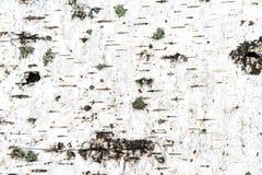 Textuur van witte berkeschors Stock Afbeelding