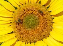 Textuur van zonnebloem Royalty-vrije Stock Afbeelding