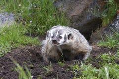 Texugo americano no burrow Fotografia de Stock