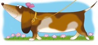 Texugo-cão Fotografia de Stock Royalty Free