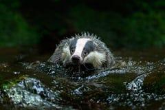 Texugo europeu na angra da floresta Fotografia de Stock
