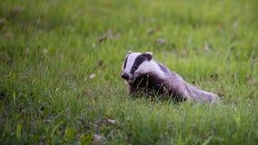 Texugo feliz na grama verde Imagens de Stock Royalty Free