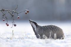 Texugo no inverno com maçãs imagem de stock