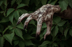 Thème d'horreur et de Halloween : la main sale terrible avec le zombi noir d'ongles rampe hors des feuilles vertes, apocalypse mo photos stock