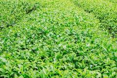 Thé croissant avec le fond vert Photo libre de droits