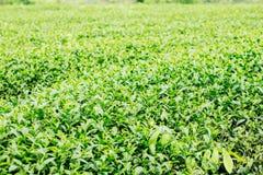 Thé croissant sur le fond vert Photo libre de droits