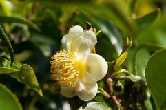 Thé de fleur Photographie stock