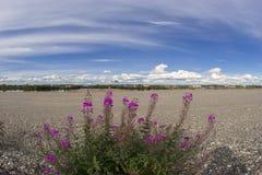 Thé de floraison de saule sur un fond de ciel bleu avec des nuages Photographie stock libre de droits