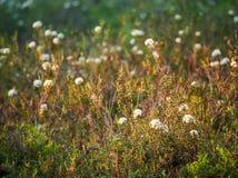 Thé de Labrador de marais, tomentosum de rhododendron image stock