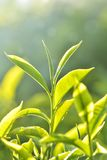 thé de plantation de l'Inde photo stock