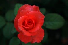 Thé Rose Photos libres de droits