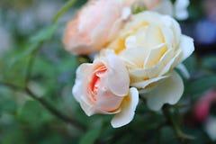 Thé-rose rose photographie stock libre de droits