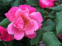 Thé Rose rose après une pluie Photo libre de droits