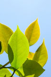 Thé vert Photographie stock