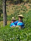 Thé vert de culture de filles Photo stock