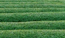 Thé vert texture2 Images libres de droits