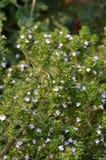 Thýmus vulgáris - Thymus. Herbs -Thyme plant with flowers. Thymus Vulgaris L Royalty Free Stock Photo