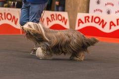22th国际狗展示希罗纳2018年,西班牙 库存照片