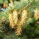 12th принятый pinus pinecone сосенки фото parviflora в июне 2011 ветви Стоковая Фотография RF