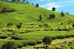thé de 2 plantations Photo stock