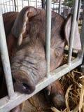Pig Sleeping at a County Fair, Pennsylvania, USA Stock Photo