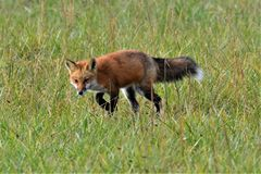 ON TH HUNT. A Red Fox on the hunt, looking through the grass for a mouse. It is in the spring of the year on a cool, sunny, day stock image