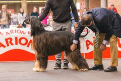 22th INTERNATIONAL DOG SHOW GIRONA 2018,Spain. 22th INTERNATIONAL DOG SHOW GIRONA March 17, 2018,Spain, Afghan hound Royalty Free Stock Photos